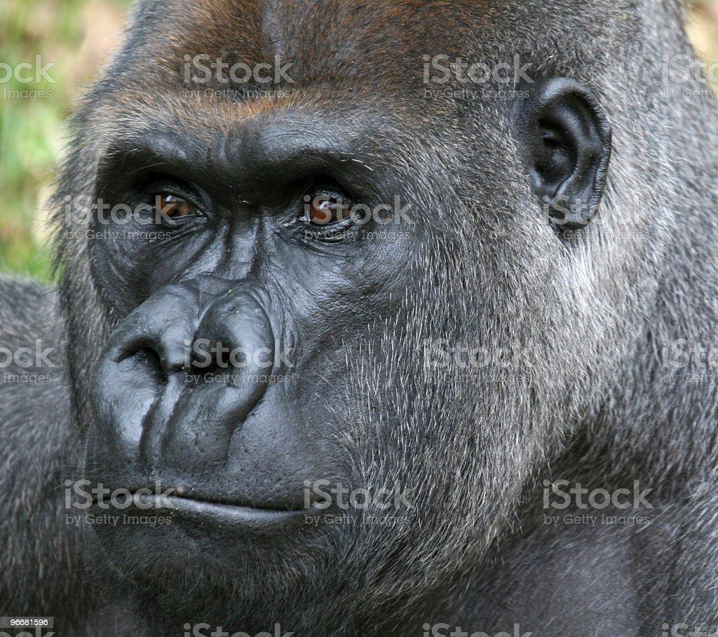 Extreme Closeup, Male Silverback Gorilla stock photo