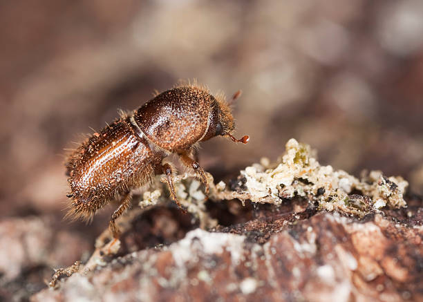 Extreme close-up of a Bark borer stock photo