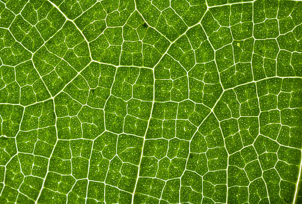 Extreme close-up of a leaf showing veins, cell detail stock photo