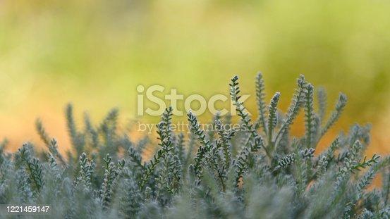 678639336 istock photo Extreme closeup of a mediterranean plant santolina in the springtime, 1221459147