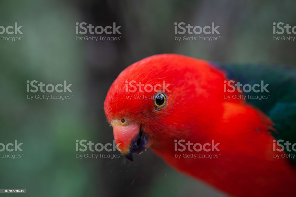 Extreme closeup of beautiful King Parrot on blurred background stock photo