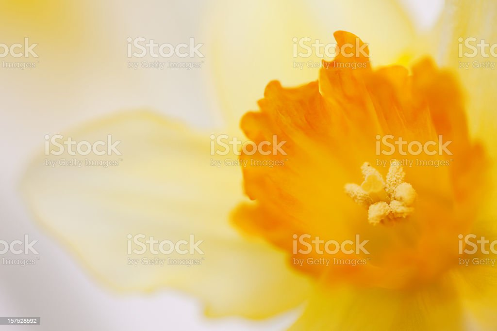 Extreme close-up of Daffodil flower stock photo