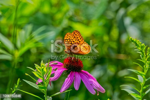 Close-Up of Aphrodite Fritillary on Pink Coneflower with Selective Focus