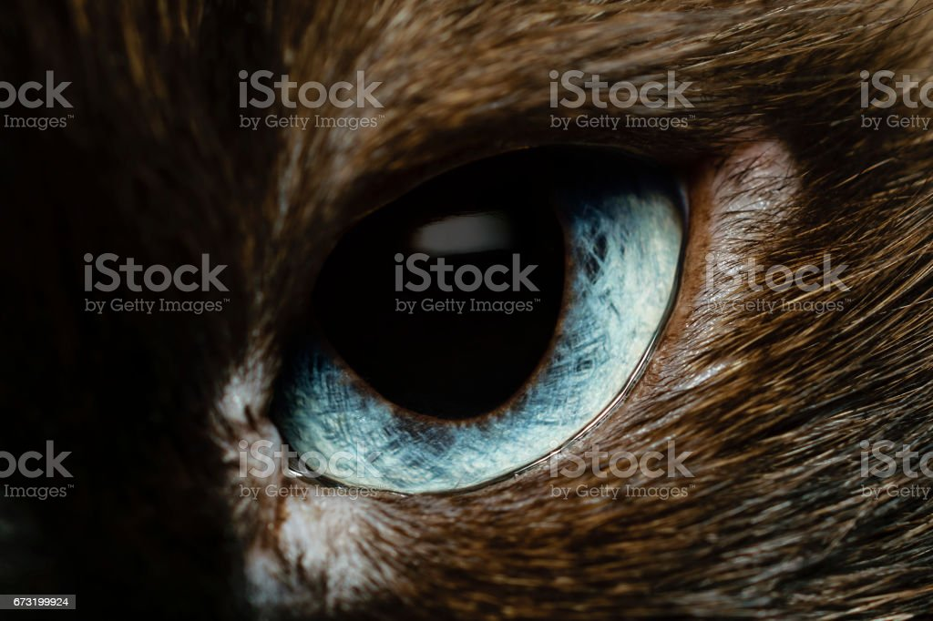 Extreme Closeup Of Intricate Light Blue Eye Of Birman Cat Looking - 24 detailed close ups of animal eyes