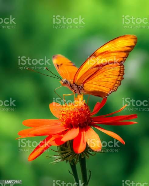 Extreme closeup of julia butterfly on orange flower with dark green picture id1138272512?b=1&k=6&m=1138272512&s=612x612&h=fspkbrpnehx0jg4ity7qogvdgy7qgdf8dmn3bexrflg=
