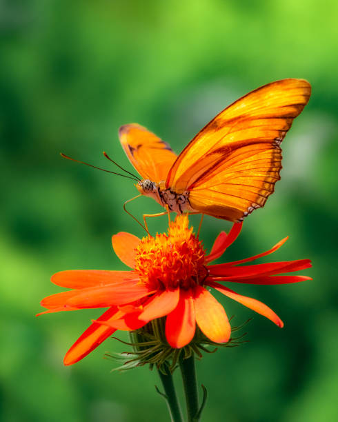 Extreme closeup of julia butterfly on orange flower with dark green picture id1138272512?b=1&k=6&m=1138272512&s=612x612&w=0&h=fh0cneivr20h9wcxd3t4yxleiexjftgel6mt7ebrhdu=