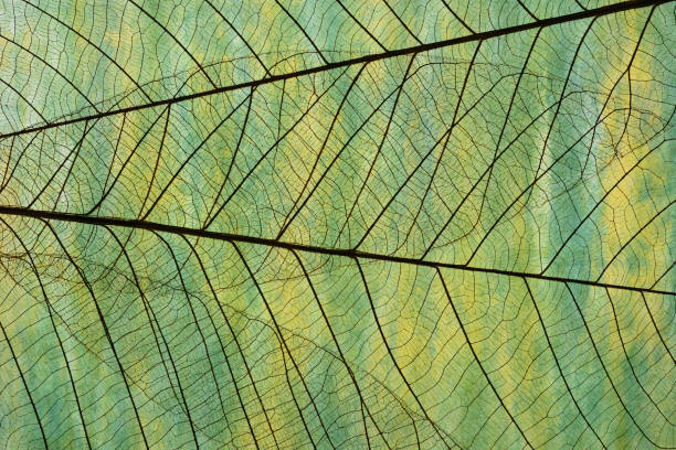 extreme close-up of leaf vein skeleton against washi paper. - botany stock pictures, royalty-free photos & images