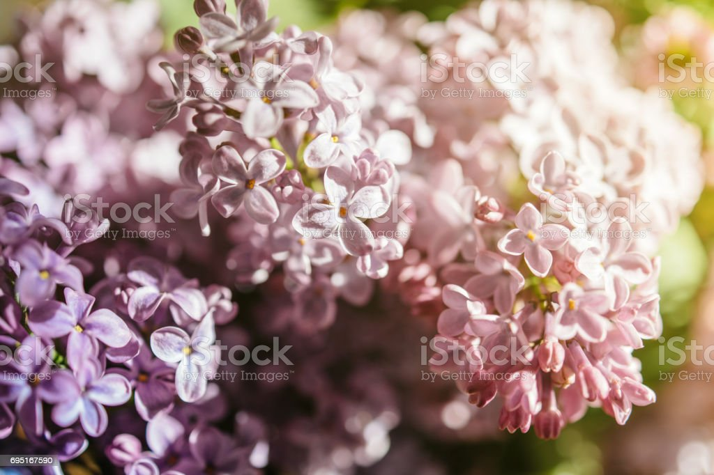 Extreme close-up of lilac syringa flower stock photo