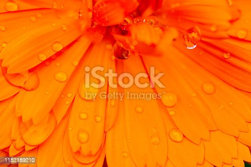 Extreme close-up of orange marigold petals with raindrops in an English country garden.