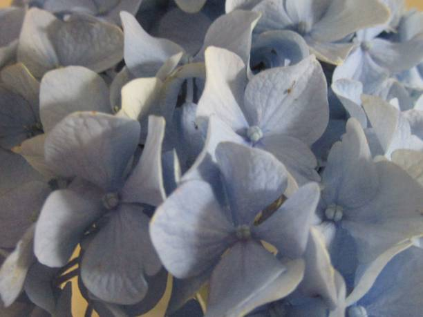 Extreme Close-up of Pale Blue Hydrangea Petals stock photo