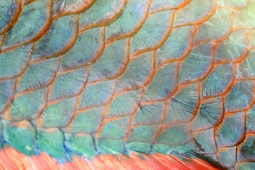 Extreme close-up of Grunt fish scale
