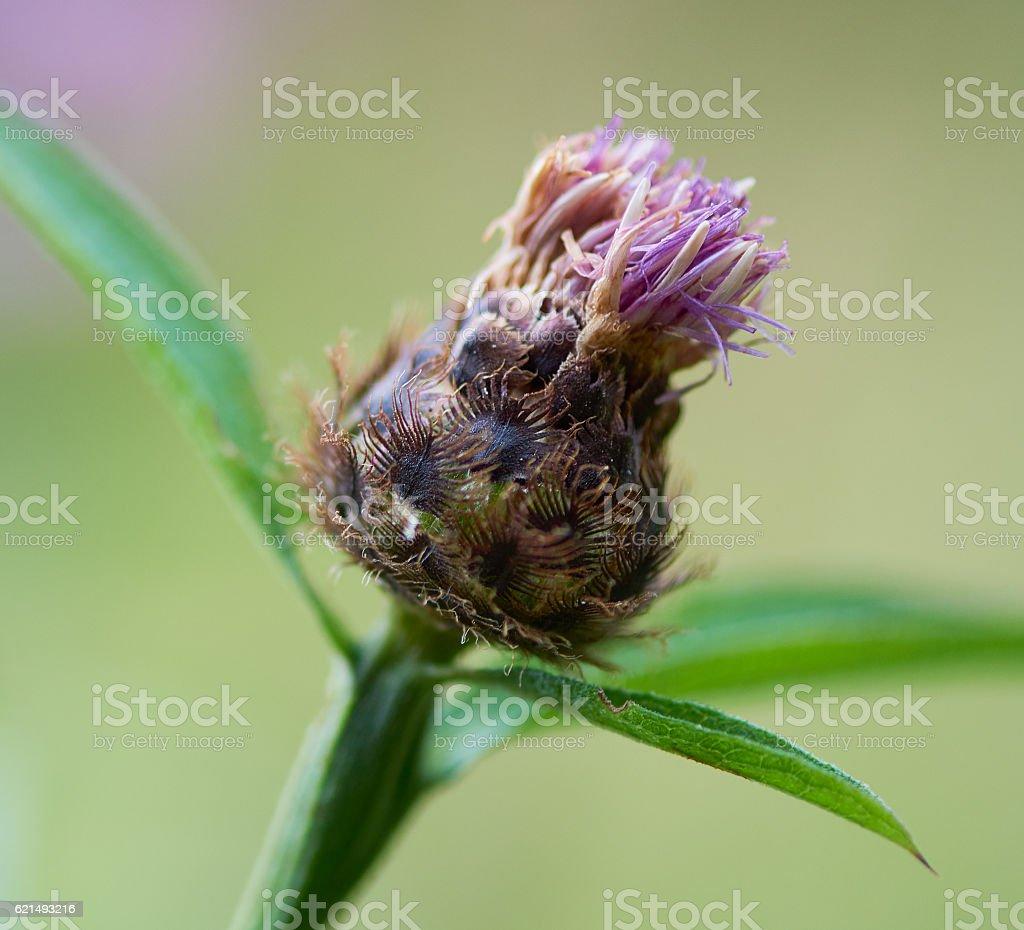 Extreme Close-Up of Purple plant head photo libre de droits