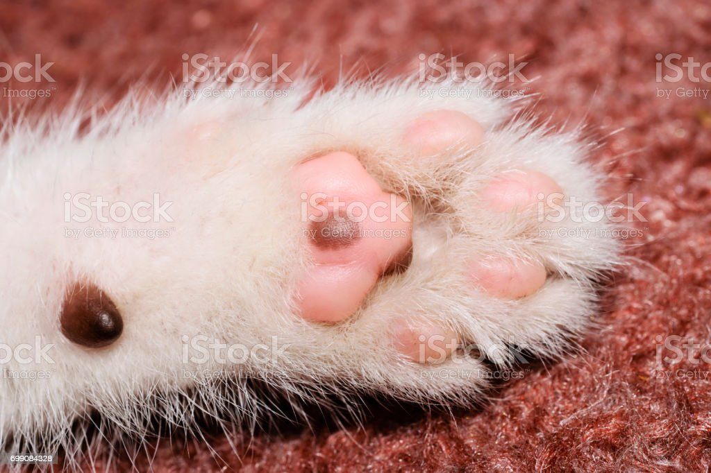 Extreme Close-Up Of The Paw Of A White Kitten stock photo