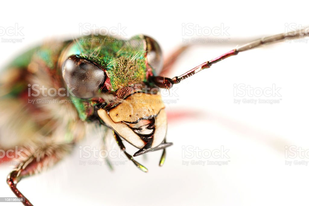 Extreme Close-up of Tiger Beetle's Face and Antennae stock photo