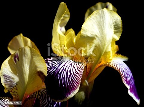 istock extreme close-up of  yellow iris pseudacorus Iridaceae on a black background 1139574897