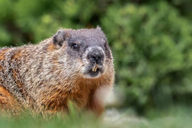 retrato primer plano extremo de marmota mostrando los dientes, bigotes y pelo detalles - groundhog day fotografías e imágenes de stock