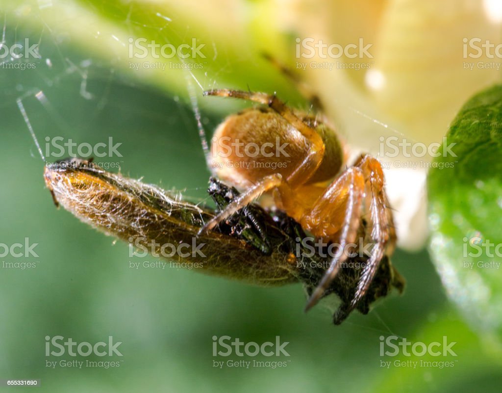 Extreme close-up spider with tided victim stock photo