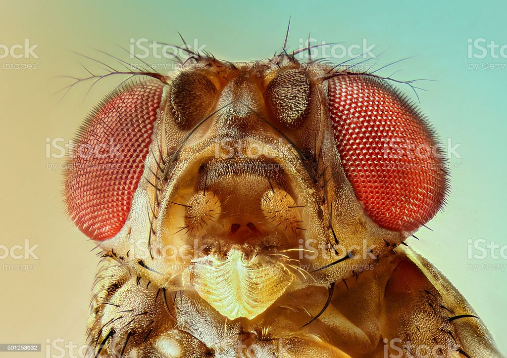 extreme detail fruit fly stock photo