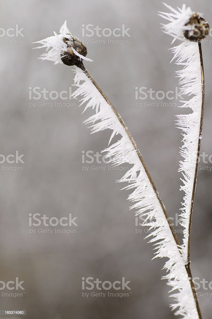 Extreme Hoar Frost on dried plant royalty-free stock photo