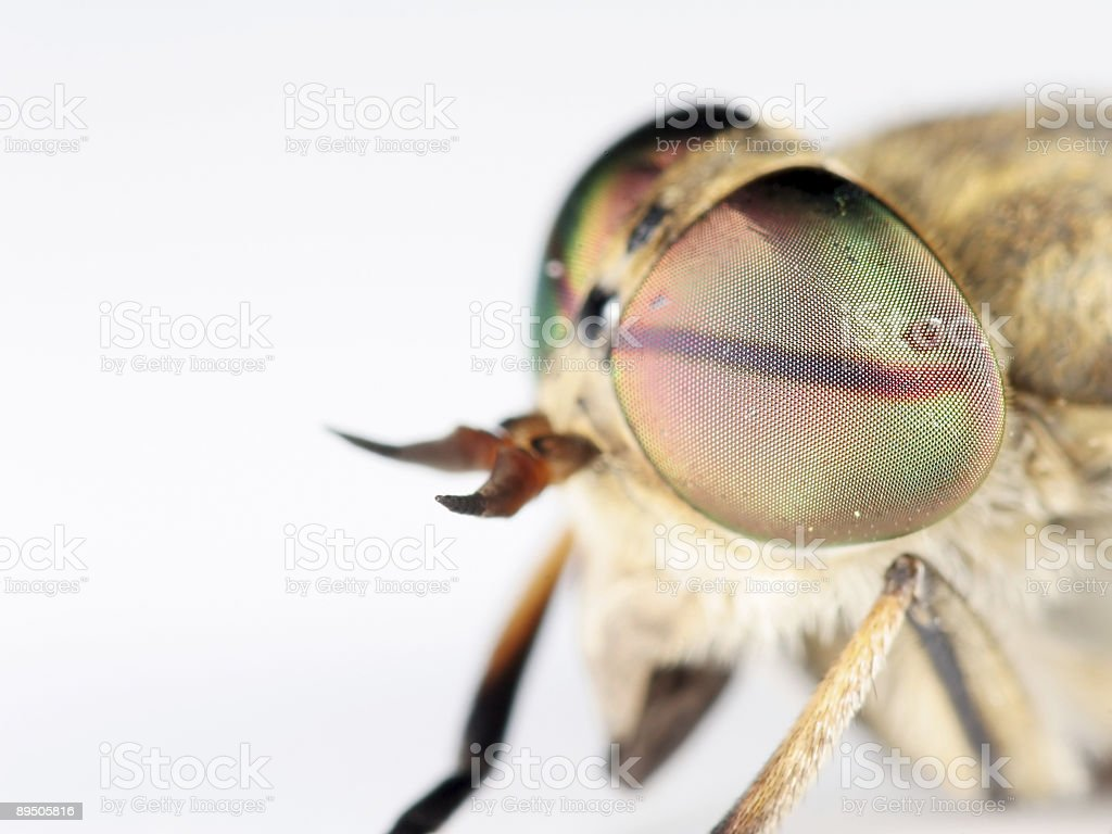 Extreme horsefly 03 royalty-free stock photo