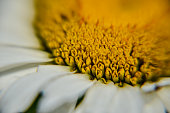 Extreme macro daisy in sunny day. Close up on yellow rods and white petals. Horizontal extreme close up full frame crop