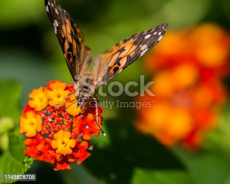 Extreme macro detailed closeup of painted lady butterfly feeding / pollinating on wildflower - in Minnesota