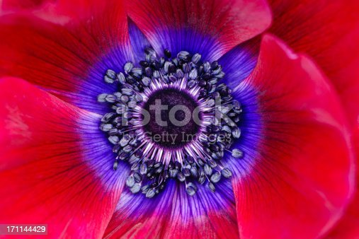 Extreme macro of a red and purple anemone poppy.