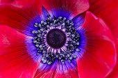 istock Extreme macro of a red anemone poppy 171144429