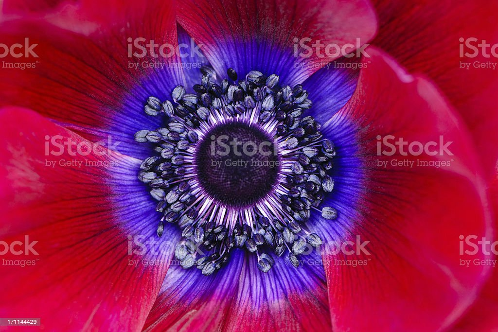 Extreme macro of a red anemone poppy stock photo