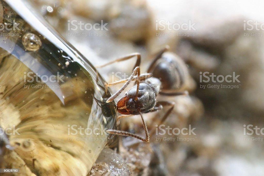 Extreme macro of ant eating honey stock photo