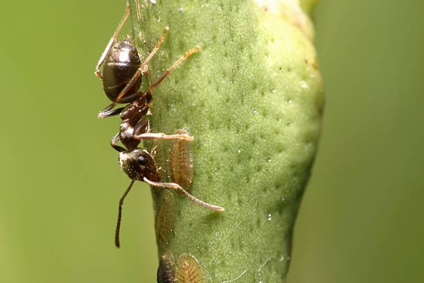 Extreme macro of black ant harvesting stock photo