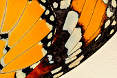 Extreme macro of butterfly wing background,  Danaus chrysippus