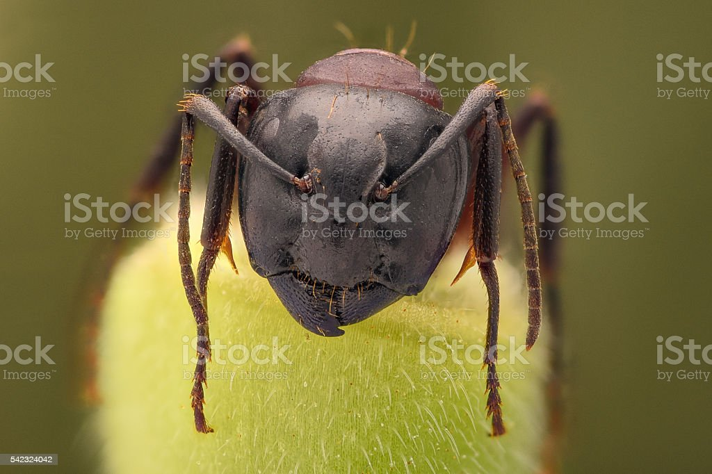 Extreme magnification - Ant portrait stock photo
