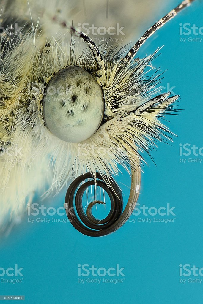 Extreme magnification - Butterfly head, side view stock photo