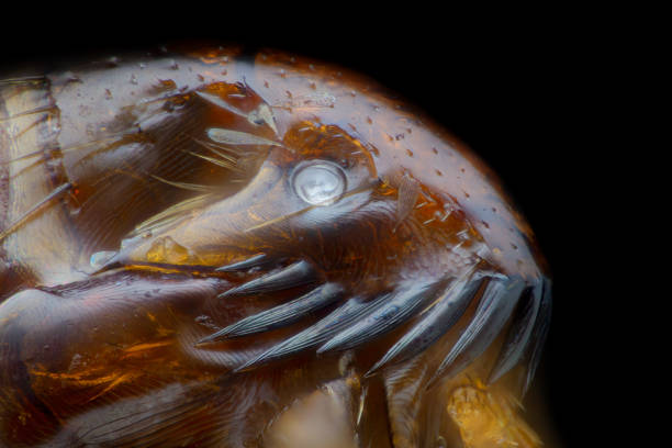 Extreme magnification flea at microscope 50x magnification picture id1139252555?b=1&k=6&m=1139252555&s=612x612&w=0&h=ndqpl9wgbkmh9ec1 wfgr39to gmrmdvzqe0zfjhk8m=