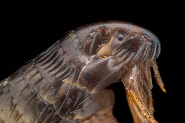 Extreme magnification flea under the microscope picture id1063400208?b=1&k=6&m=1063400208&s=612x612&w=0&h=b4mrjtbsonsdyhynkwx9e45uwx1nooc mpzqyrp9kl4=