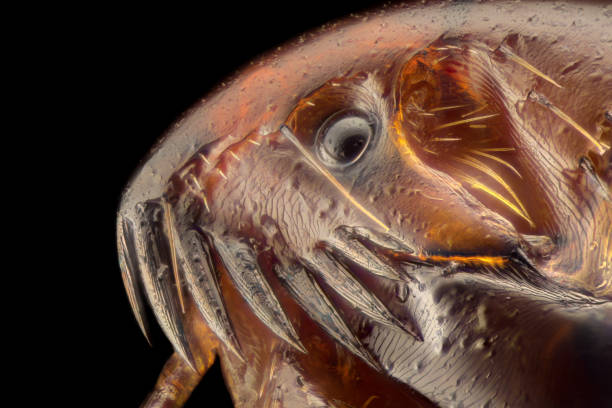 Extreme magnification flea under the microscope picture id1063400292?b=1&k=6&m=1063400292&s=612x612&w=0&h=rqchozaomrmy 6v33q8d nb9izwgfqvhyhp00t7f7sg=