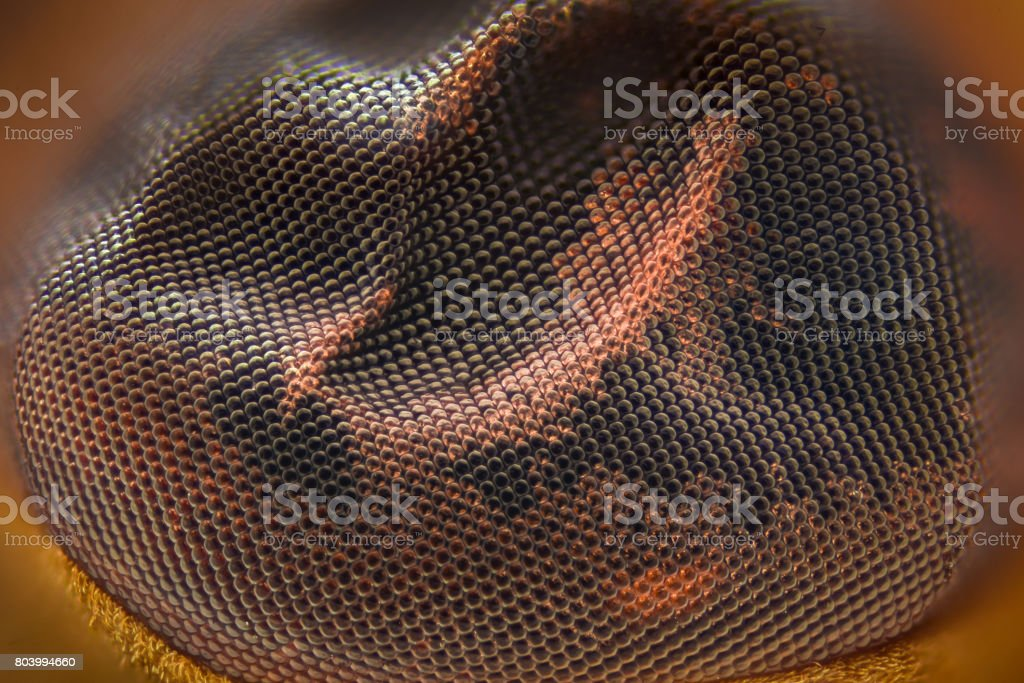 Extreme magnification - Fly eye under the microscope stock photo