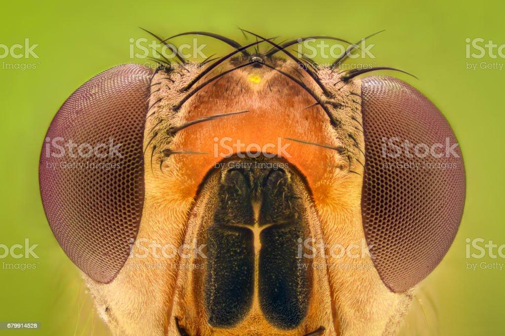 Extreme magnification - Fruit fly Extreme magnification - Fruit fly Animal Stock Photo
