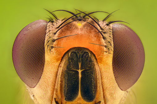 Extreme Magnification Fruit Fly Stock Photo - Download Image Now