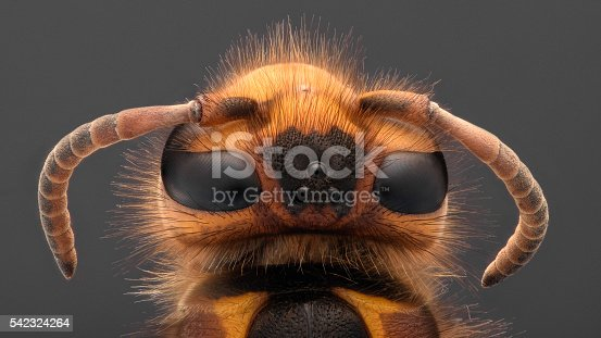 972704120istockphoto Extreme magnification - Giant Wasp 542324264