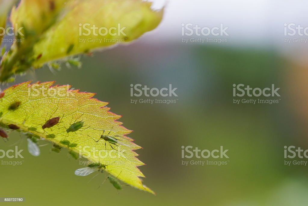 Extreme magnification - Green aphids on a plant. stock photo