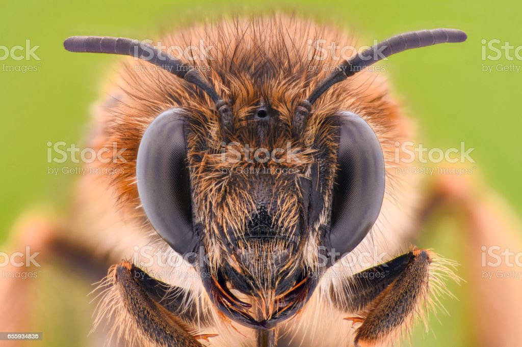Extreme magnification - Honey Bee stock photo