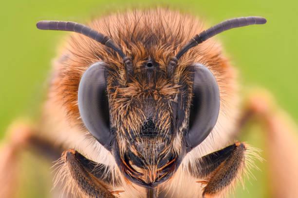 extreme magnification - honey bee - ape domestica foto e immagini stock