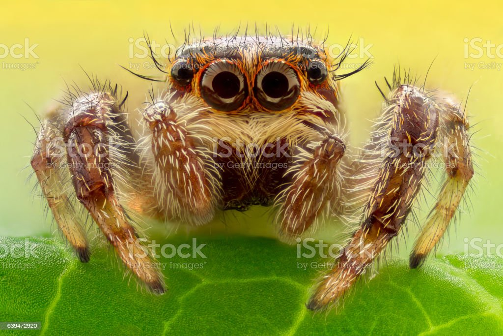 Extreme magnification - Jumping Spider stock photo