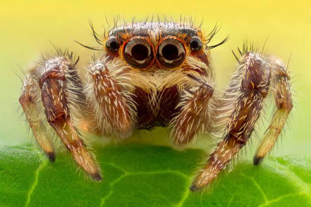 extrême image-araignée-sauteuse - araignée photos et images de collection