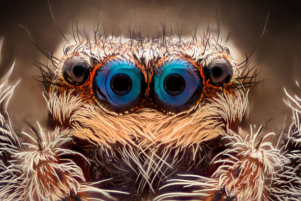 Extreme magnification - Jumping spider portrait, front view Extreme magnification - Jumping spider portrait, front view animal eye stock pictures, royalty-free photos & images