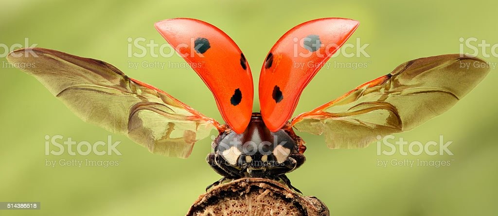Extreme magnification - Lady bug with spread wings stock photo