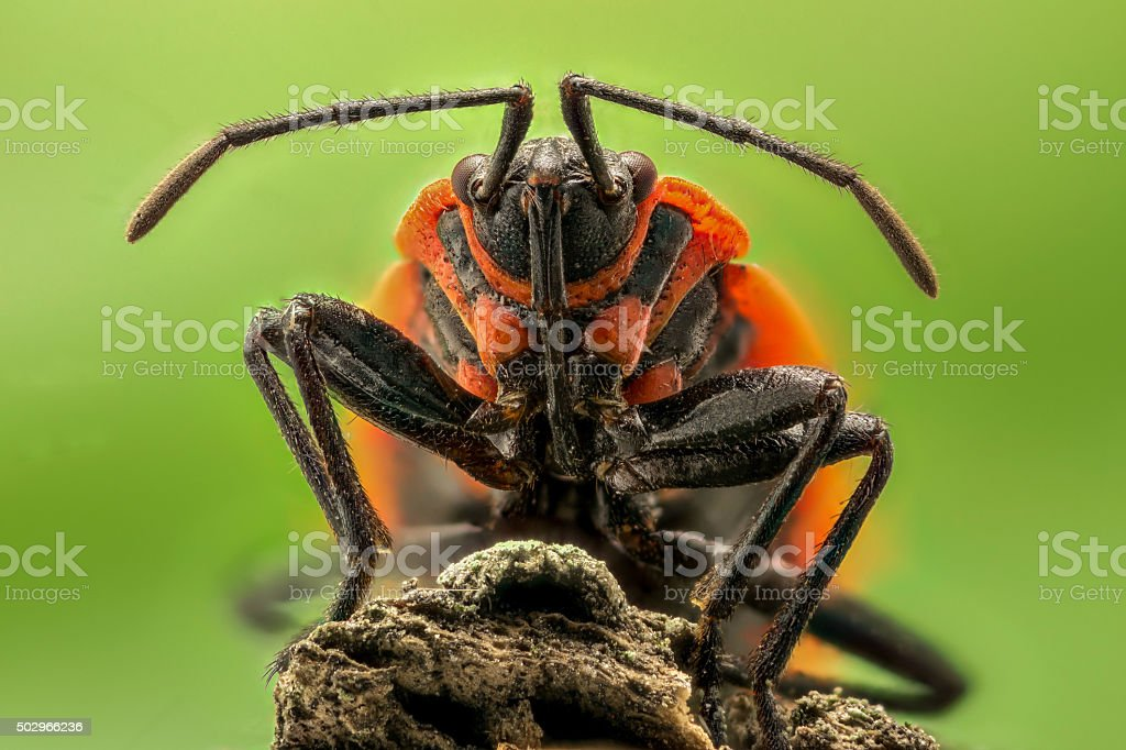 Extreme magnification - Lygaeus equestris on a branch stock photo