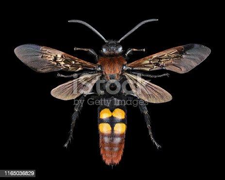 istock Extreme magnification - Megascolia maculata giant wasp 1165036829